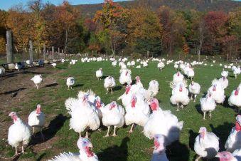 Troubled turkeys